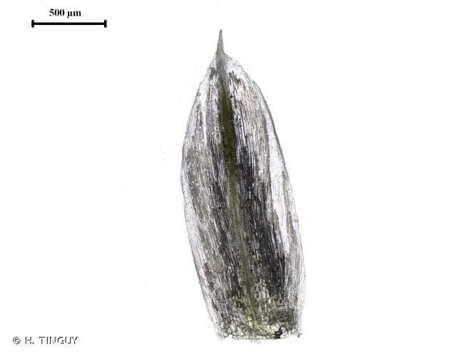 <i>Amaranthus hybridus</i> L., 1753 © H. TINGUY