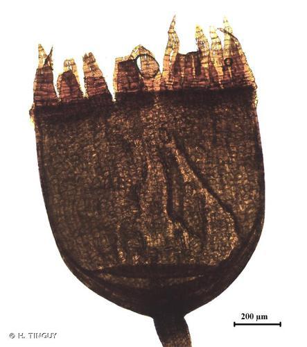 <i>Schistidium confertum</i> (Funck) Bruch & Schimp., 1845 © H. TINGUY