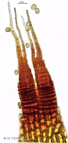 <i>Dicranella rufescens</i> (Dicks.) Schimp. © H. TINGUY