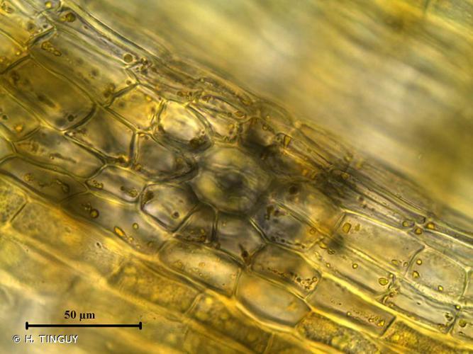 <i>Orthotrichum pumilum</i> Sw. ex anon. © H. TINGUY