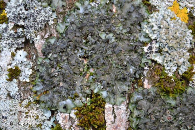 <i>Pleurosticta acetabulum</i> (Neck.) Elix & Lumbsch, 1988 © D. Happe
