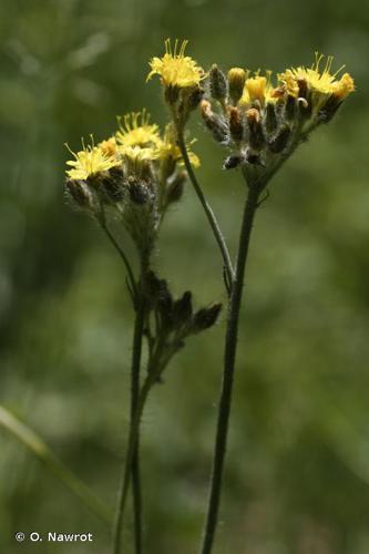 <i>Pilosella cymosa</i> (L.) F.W.Schultz & Sch.Bip., 1862 © O. Nawrot